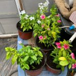 Cora Vinca - Live Plants for Sale