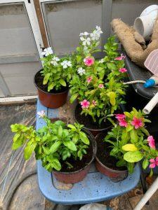 Cora Vinca - Live Plants for Sale