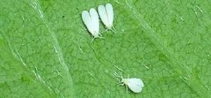 Whiteflies - garden pests