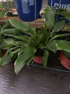 Live Hosta Plants For Sale, NJ