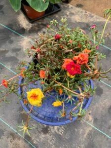 Portulaca Plants For Sale