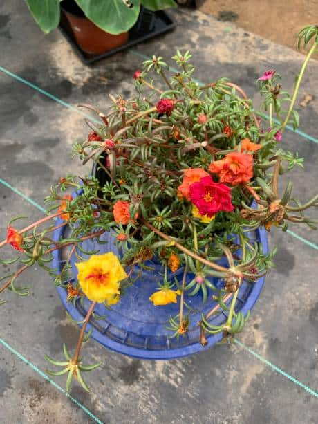 Portulaca Plants For Sale