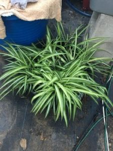 Spider Plants for sale NJ