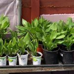 Hosta Plants For Sale, Jackson, NJ