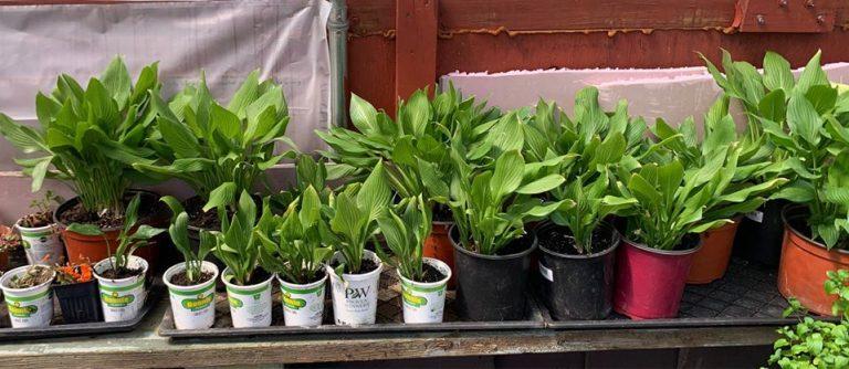 Hosta Plants For Sale, Jackson, NJ