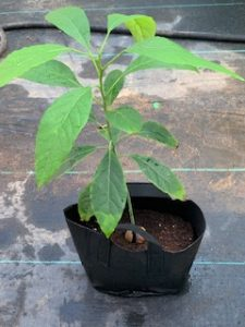 Live Avacado Plants for sale