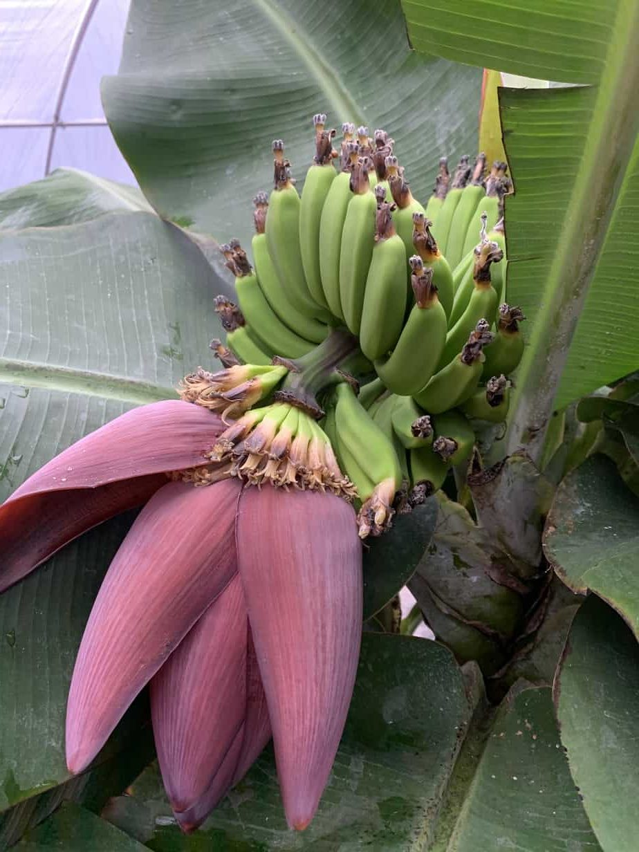 Day 28 - Banana Plant Progress
