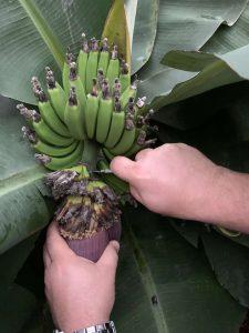 0-27-19-Banana-Blossom-Harvest