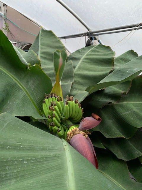 Day 27 - Banana Plant