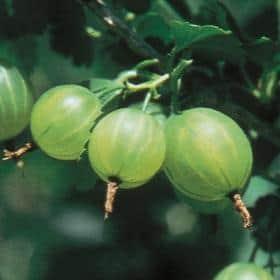 Gooseberry 'Pixwell' Live Plant