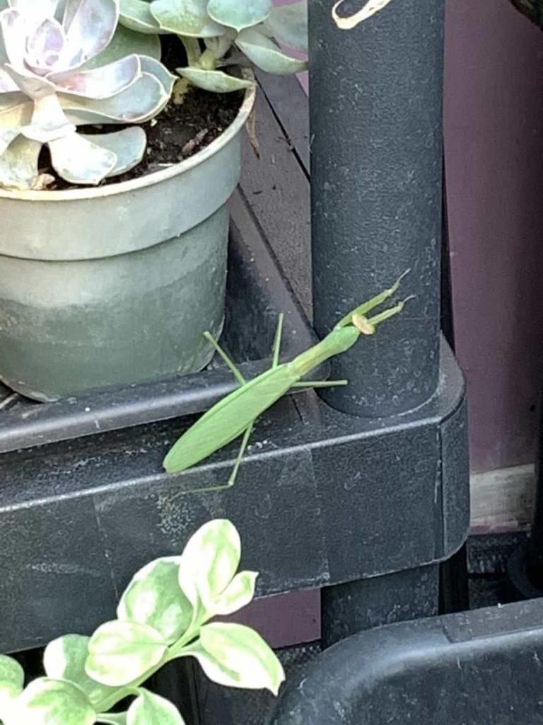 Praying Mantis - Adult