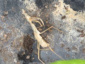 Praying Mantis Carcass